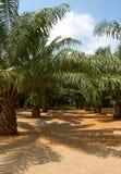 Foresta della palma Immagini Stock