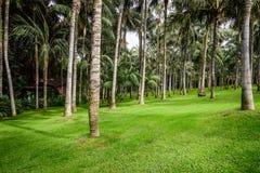 Foresta della palma con erba verde sull'isola di Tenerife, Spagna Fotografie Stock Libere da Diritti
