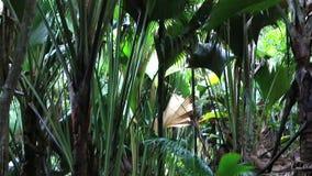 Foresta della palma di Vallee De Mai in Praslin archivi video