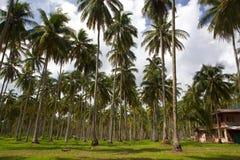 Foresta della palma vicino alla spiaggia Immagine Stock