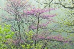 Foresta della primavera con Redbud Fotografia Stock