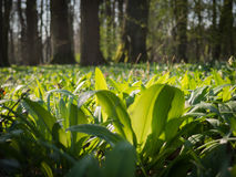 Foresta della primavera in pomoravi di Litovelske, repubblica Ceca Fotografia Stock