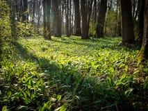 Foresta della primavera in pomoravi di Litovelske, repubblica Ceca Immagine Stock Libera da Diritti
