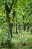 Foresta della quercia Immagini Stock Libere da Diritti