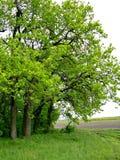 Foresta della quercia Fotografia Stock