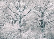 Foresta della quercia coperta di gelo Fotografia Stock Libera da Diritti