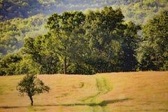 Foresta della quercia e una piccola quercia nella parte anteriore Immagine Stock Libera da Diritti