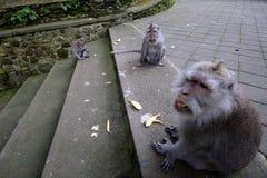 Foresta della scimmia di Padangtegal, posto turistico famoso in Ubud, Bali Indonesia Fotografia Stock