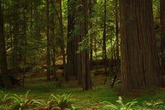 Foresta della sequoia Fotografia Stock