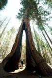 Foresta della sequoia fotografia stock libera da diritti