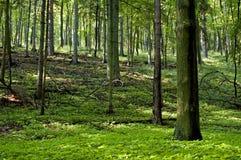 Foresta della sorgente Immagine Stock Libera da Diritti