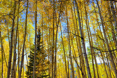 Foresta della tremula gialla e verde alta durante la stagione di fogliame Fotografia Stock