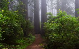 Foresta delle sequoie di mattina Fotografia Stock Libera da Diritti