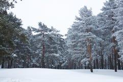 Foresta dello Snowy Immagine Stock Libera da Diritti