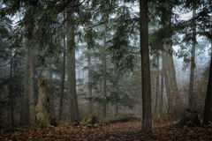 Foresta densa dei pini Fotografia Stock Libera da Diritti