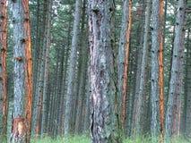 Foresta densa del pino Fotografia Stock