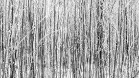 Foresta densa di inverno in bianco e nero Immagini Stock