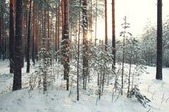 Foresta densa nell'inverno fotografia stock libera da diritti