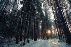 Foresta densa nell'inverno immagine stock