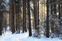 Foresta densa nell'inverno fotografia stock