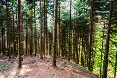 Foresta densa sul pendio di collina Fotografia Stock Libera da Diritti