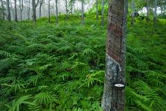 Foresta di agricoltura del lattice dell'albero di gomma Immagine Stock