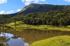 Foresta di araucaria angustifolia (pino brasiliano), Brasile fotografie stock