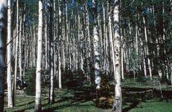 Foresta di Aspen Immagine Stock