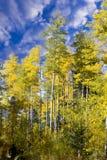 Foresta di Aspen nel New Mexico Immagine Stock