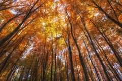Foresta di autunno, alberi colorati in autunno, bello paesaggio ucraino dell'autunno Immagine Stock