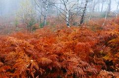 Foresta di autunno con le felci Immagine Stock