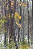 Foresta di autunno coperta di neve Immagini Stock