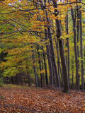 Foresta di autunno del faggio Fotografie Stock Libere da Diritti