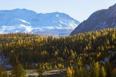 Foresta di autunno e montagna della neve, montagne di Altai, cresta di Chuya, Siberia ad ovest Immagini Stock
