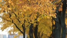 Foresta di autunno - la tremula gialla lascia nei raggi del tramonto archivi video