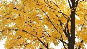Foresta di autunno - la tremula gialla lascia nei raggi del tramonto stock footage