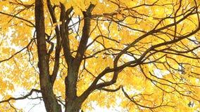 Foresta di autunno - la tremula gialla lascia nei raggi del tramonto video d archivio