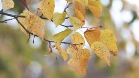 Foresta di autunno - la tremula gialla va contro lo sfondo del parco di autunno Paesaggio di autunno, autunno dorato video d archivio