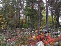 Foresta di autunno in Lulea, Svezia fotografia stock libera da diritti
