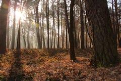 Foresta di autunno, raggi del sole Fotografia Stock Libera da Diritti