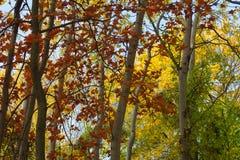 Foresta di autunno, stagione di caduta, foglie rosse, alberi gialli, foresta Fotografia Stock Libera da Diritti