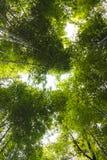 Foresta di bambù dalla vista dal basso Immagini Stock