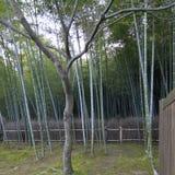 Foresta di bambù a Kyoto Giappone Immagine Stock