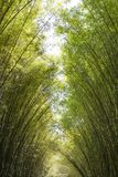 Foresta di bambù di mattina Fotografia Stock Libera da Diritti