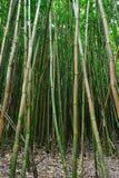 Foresta di bambù Maui, Hawai Fotografie Stock