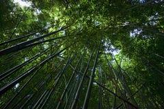 Foresta di bambù su Maui Fotografia Stock