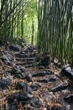 Foresta di bambù, traccia di Pipiwai, parco di stato di Kipahulu, Maui, Hawai Fotografia Stock