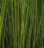 Foresta di bambù verde Fotografia Stock Libera da Diritti