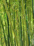 Foresta di bambù verde Fotografie Stock Libere da Diritti