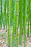 Foresta di bambù verde Fotografie Stock